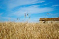 Ripe wheat. Closeup of a field of golden ripe wheat Royalty Free Stock Image