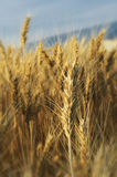 Ripe wheat. A portrait framing of ripe wheat and clouds Stock Images