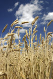 Ripe wheat. Ripe wheat ears over a blue sky Royalty Free Stock Photography