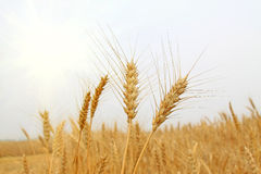 Ripe wheat Stock Image