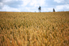 Ripe wheat. Royalty Free Stock Image
