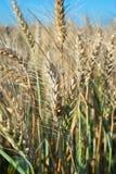 Ripe wheat. Growing in field Royalty Free Stock Photo