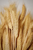 Ripe wheat. Ripe golden wheat with studio background Stock Photography