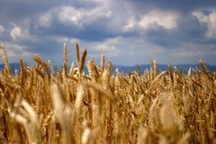 Ripe wheat. Ears over a blue sky Royalty Free Stock Photos