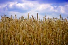 Ripe wheat. Ears over a blue sky Stock Photos