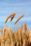 Ripe Wheat. Detail Against Blue sky stock photography