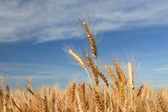 Ripe Wheat Stock Photography