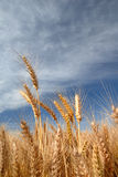 Ripe Wheat. Detail Against Blue sky royalty free stock image