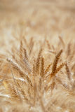Ripe Wheat. Detail With Extreme Selective Focus royalty free stock photo