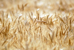 Ripe Wheat Stock Image