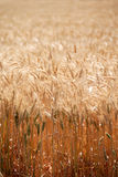Ripe Wheat Royalty Free Stock Photo