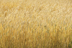 Ripe wheat  Stock Images