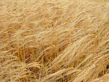 Ripe wheat. The view of ripe wheat (photo royalty free stock images