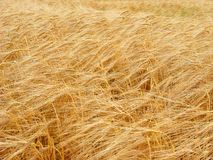 Ripe wheat. Close-up of wheat field (color photo Stock Photography