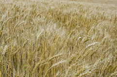Ripe wheat. At the summer Stock Photos