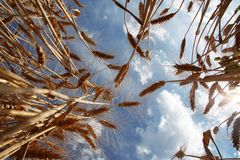 Ripe Wheat against Blue Sky. Ripe Wheat Ears against Blue Sky Background Stock Image