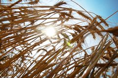 Ripe Wheat against Blue Sky. Ripe Wheat Ears against Blue Sky Background Stock Photography
