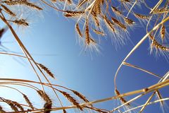 Ripe Wheat against Blue Sky. Ripe Wheat Ears against Blue Sky Background Royalty Free Stock Image