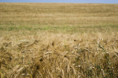 Ripe wheat against blue sky Royalty Free Stock Images