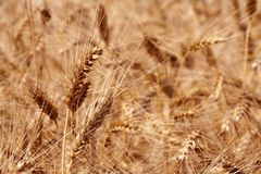 Ripe Wheat against Cereal Field. Ripe Wheat Ears against Cereal Field Background Stock Photography