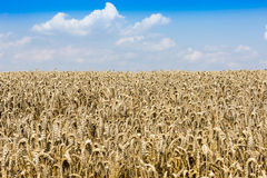Ripe wheat. Agrarian field with ripe wheat stock photography