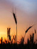 Ripe Wheat At Sunset Royalty Free Stock Images