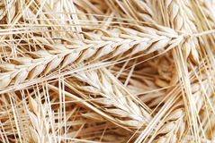 Ripe wheat background Stock Image