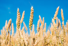 Ripe wheat. On a background of blue sky royalty free stock photography