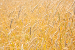 Ripe wheat background Royalty Free Stock Images