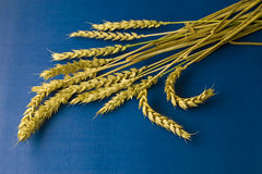 Ripe wheat on blue background. Ripe golden wheat on blue background stock photo