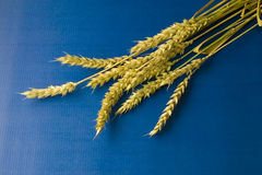 Ripe wheat on blue background. Ripe golden wheat on blue background stock images
