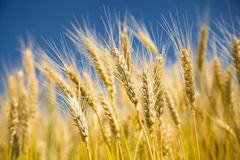 Ripe wheat on a blue sky. Ripe golden wheat on a blue sky royalty free stock photography