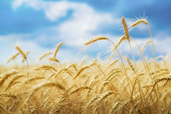 Ripe wheat and blue sky Royalty Free Stock Images
