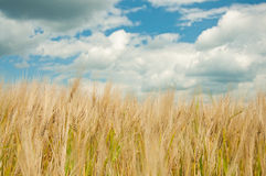 Ripe wheat Royalty Free Stock Photography