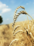 Ripe wheat close-up Royalty Free Stock Photo