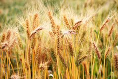 Ripe wheat crop Stock Image
