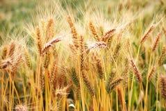 Ripe wheat crop. In it's natural environ metn stock image