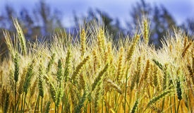 Ripe wheat crop. Before harvest stock photography