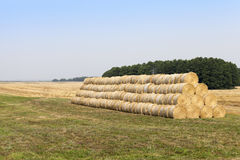 Ripe wheat crop Royalty Free Stock Images