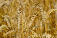 Ripe Wheat Royalty Free Stock Photos