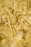 Ripe wheat with dragonfly. Sitting on the ear Royalty Free Stock Photos