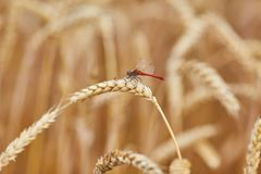 Ripe wheat with dragonfly. Sitting on the ear royalty free stock photography