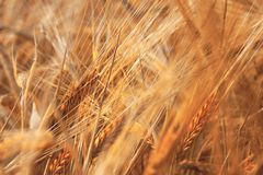 Ripe Wheat Royalty Free Stock Images