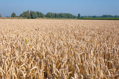 Ripe wheat in a Dutch landscape Stock Photo