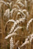 Ripe wheat ear stock photo
