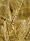 Ripe wheat ear on background of cereal field Royalty Free Stock Images