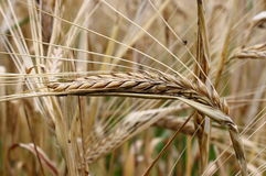 Ripe wheat ear Stock Photography
