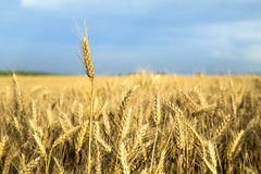 Ripe wheat ear close-up shot Stock Photo