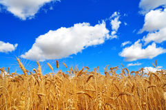 Ripe Wheat Ears. Golden wheat ears and blue sky with clouds Stock Photography
