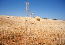 Ripe wheat ears Stock Image